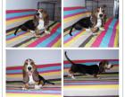纯种巴吉度猎犬幼崽 健康保障 疫苗做齐 证书齐全