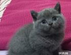 专业猫舍 名猫出售