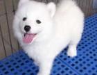邢台哪有萨摩耶犬卖 邢台萨摩耶犬价格 邢台萨摩耶犬多少钱