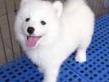 青岛哪有萨摩耶犬卖 青岛萨摩耶犬价格 青岛萨摩耶犬多少钱