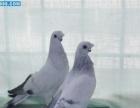 点子鸽图片北京点子鸽哪里有卖的