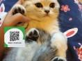 柳州哪里有宠物店 柳州哪里卖宠物猫便宜 柳州蓝猫价格