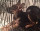 精品德国牧羊犬 专业机构认证 血统保纯正 健康质保