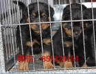 枣庄哪里有卖罗威那哪里买狗比较安全健康保证 全国包邮