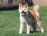 上海哪里的秋田犬便宜双血统秋田犬多少钱健康秋田犬
