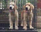 廊坊潍坊市哪里卖纯种金毛犬潍坊市金毛多少钱潍坊市金毛怎么卖的