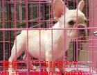 武汉哪里有纯种法国斗牛犬出售 奶油法牛幼犬 法牛幼犬多少钱