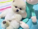 深圳哪里的俊介犬便宜纯种俊介犬多少钱俊介犬包造型