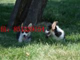 信阳三个月大的柯基犬哪里卖便宜的柯基犬三针疫苗 两次驱虫
