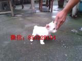 通化哪里有奶油法牛出售斗牛犬幼犬可视频看狗
