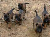 纯种双血统马犬 品相极好 包健康 正规养殖
