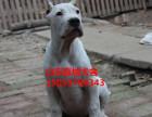 西宁什么地方杜高犬的杜高犬养殖基地
