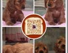 台州专业繁殖纯种美可卡幼犬赛级品相毛色发亮顺保健康