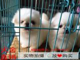 嘉兴最长情的相伴 京巴犬您的爱犬 给它一个温暖的家
