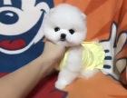 重庆哪里能买到纯种博美犬纯种博美犬多少钱三针疫苗