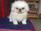 福州最长情的相伴 京巴犬您的爱犬 给它一个温暖的家