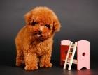 大连哪里有卖泰迪犬标准泰迪犬多少钱白色泰迪犬泰迪犬舍