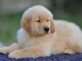 锦州纯种金毛幼崽多少钱纯种小金毛犬价格