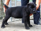 纯种卡斯罗 卡斯罗幼犬幼崽 保健康 全国最低价