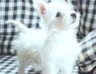 郑州最长情的相伴 西高地犬您的爱犬 给它一个温暖的家