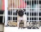 大同达州市八哥犬什么价哪里卖纯种八哥犬达州市八哥便宜吗