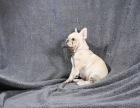 大连纯种斗牛犬出售黑白花斗牛犬幼犬哪里的法牛健康奶油色法牛繁