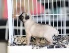 桂林八哥犬什么价哪里卖纯种八哥犬八哥便宜吗