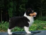 东营最长情的相伴 喜乐蒂犬您的爱犬 给它一个温暖的家