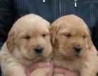 重庆金毛犬多少钱一只小金毛猎犬价格