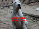 通化有没有卖杜高犬的杜高犬养殖基地