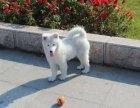 万宁纯种萨摩耶特征如何饲养萨摩耶幼犬