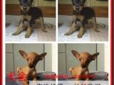 潮州最长情的相伴 小鹿犬您的爱犬 给它一个温暖的家