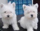 儋州西高地 最长情的相伴 您的爱犬 给它一个温暖的家