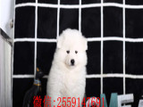 兰州哪里卖纯种萨摩耶犬萨摩耶多少钱一只哪里卖健康的萨摩耶
