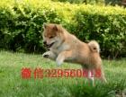 武汉哪里有纯种柴犬基地出售纯种柴犬正宗日系柴犬世界上最忠诚的