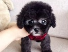 广州哪里能买到泰迪犬纯种泰迪熊多少钱灰▲色泰迪熊幼犬图片三针疫