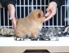 襄樊恩施市巨型红色贵宾犬巨贵的价格是多少巨贵多少钱