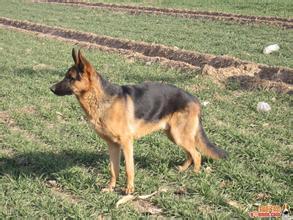 南阳纯种德国牧羊犬 保健康 全国最低价