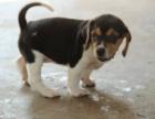 兰州哪里可以买到比格猎犬比格犬好养吗纯种比格出售