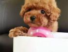 青岛哪里的泰迪犬健康标准泰迪犬多少钱灰色泰迪熊幼犬图片泰迪犬