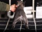哪里可以买到法国斗牛犬法牛的价格法国斗牛犬什么价