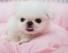 济南外形像一头小狮子 高贵优雅的京巴犬 广受大众喜爱