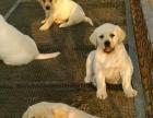 重庆泰迪犬出售,茶杯泰迪多少钱,泰迪熊幼犬图片