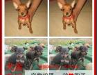 齐齐哈尔最长情的相伴 小鹿犬您的爱犬 给它一个温暖的家