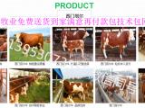 西门塔耳肉牛犊哪里肉牛犊价格低有出售肉牛犊的