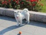 菏泽纯种萨摩耶 萨摩耶幼犬 保健康 全国最低价