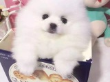 兰州哪里有俊介犬出售白色俊介犬多少钱俊介犬包造型