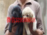 苏州哪里有卖拉布拉多犬奶黄色拉布拉多犬犬舍出售拉布拉多犬