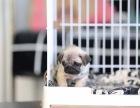 临沂大同市八哥犬什么价哪里卖纯种八哥犬大同市八哥便宜吗