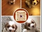 桂林专业繁殖纯种美可卡幼犬赛级品相毛色发亮顺保健康